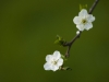 white_flowers_by_garuna_bor-bor